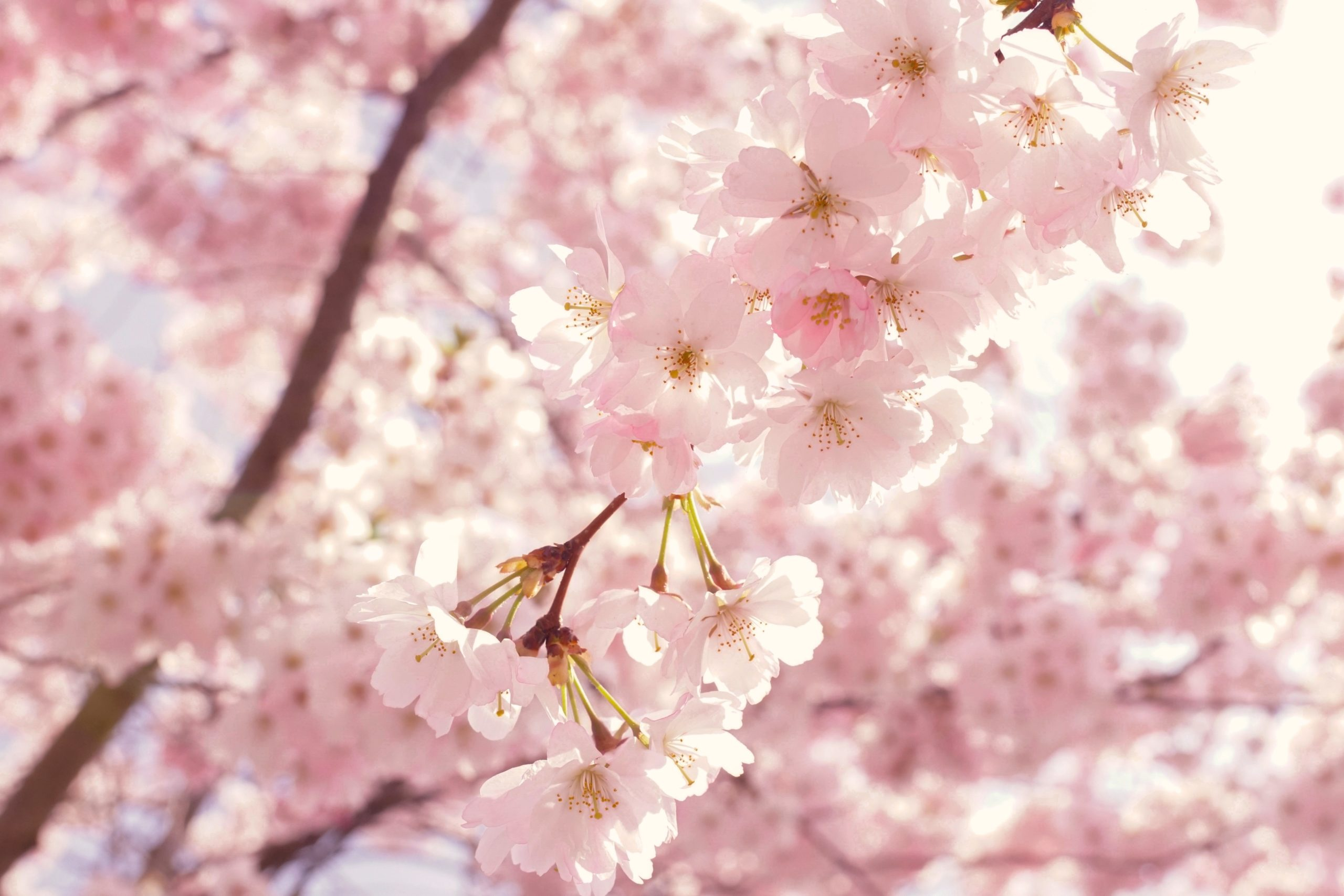 cherry blossom trees in the garden